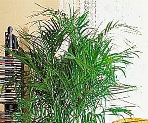 Plantes dépolluantes-Le palmier Bambou