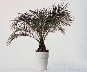 Plantes dépolluantes-Le palmier nain