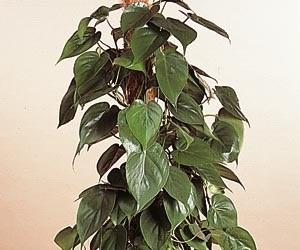 Plantes dépolluantes-Le pothos