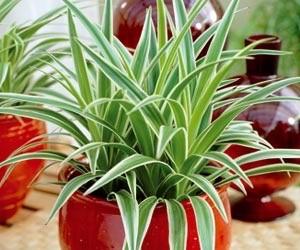 Plantes dépolluantes-Le Chlorophylum