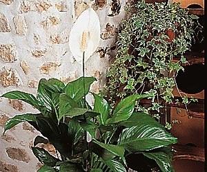 Plantes dépolluantes-Le Spatiphyllum