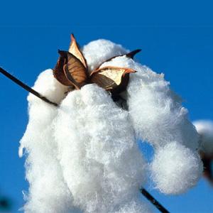 Boule de coton bio